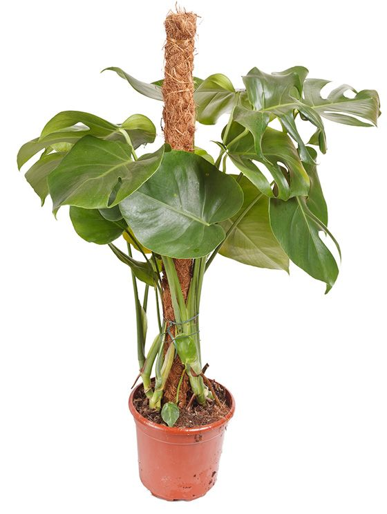 monstera gele
