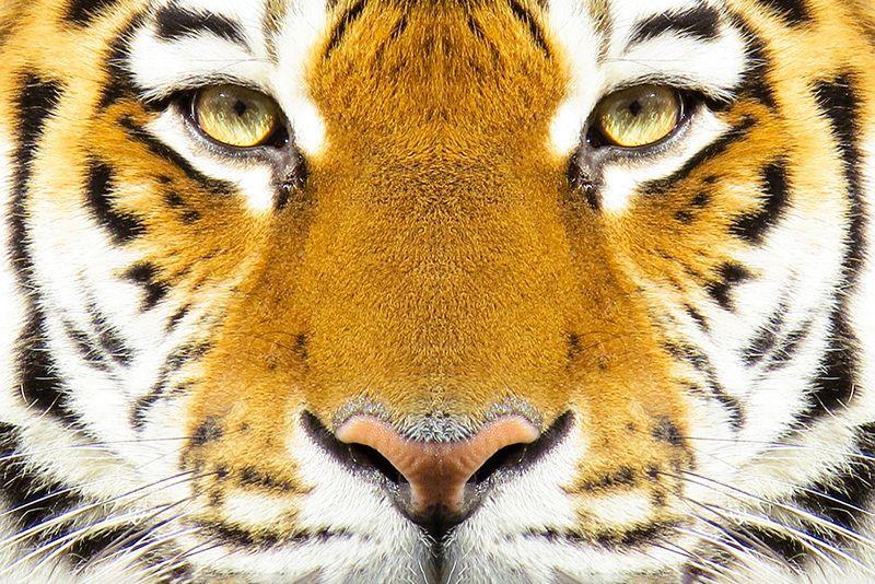 tigras kinu zodiako zenklai