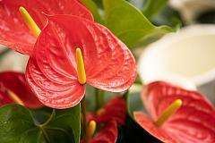 Anturis (Anthurium)